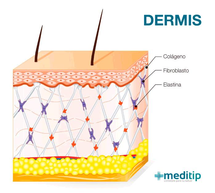 Tres capas de la piel: estructura de la dermis y fibras dérmicas
