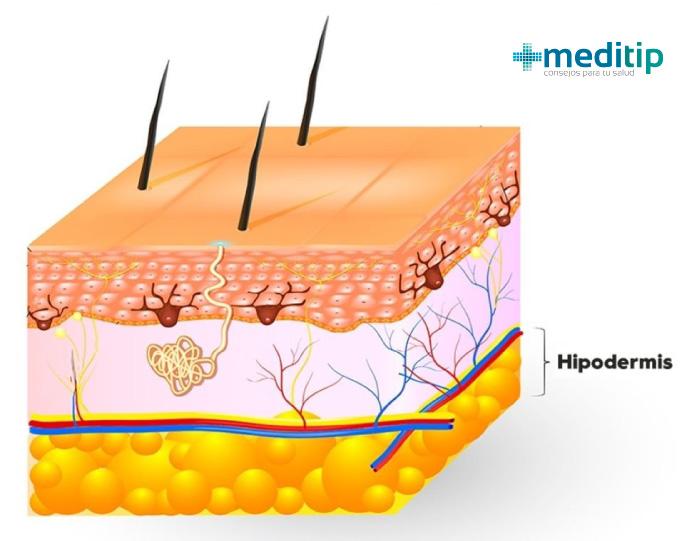 Tres capas de la piel: tejido subcutáneo (hipodermis)