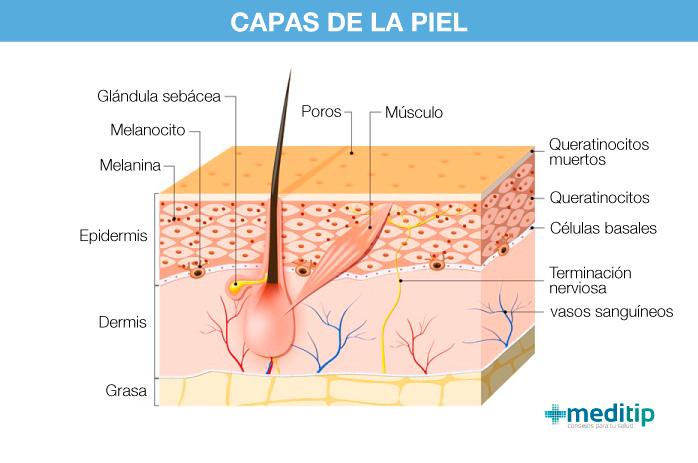 Tres capas de la piel: estructura